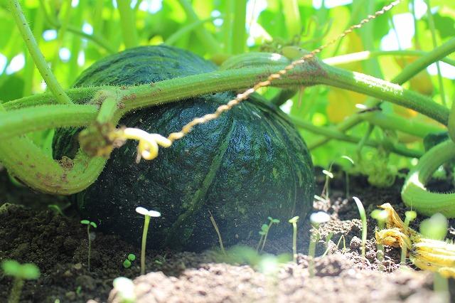 無農薬かぼちゃ さとう有機農園
